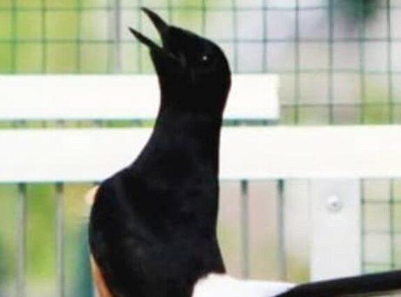 gambar-burung-murai