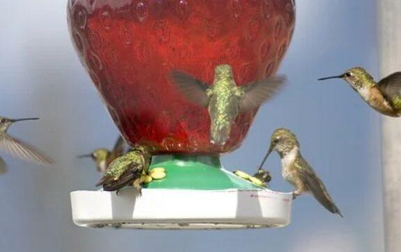 karakter-kolibri