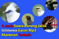 suara-burung-jalak