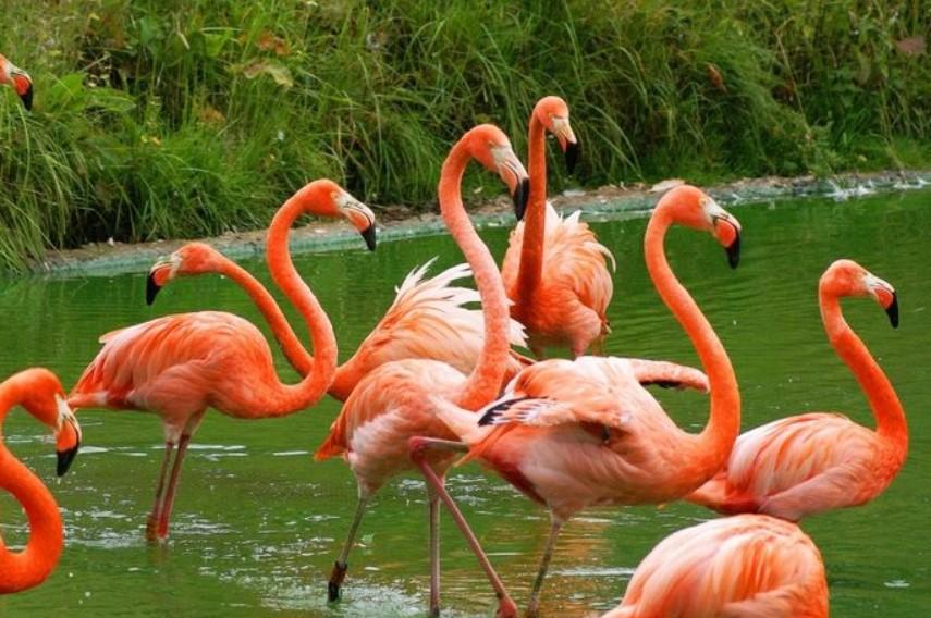 jenis-burung-flamingo