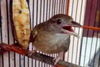 makanan-burung-kapas-tembak