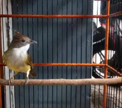 masteran burung juara mp3