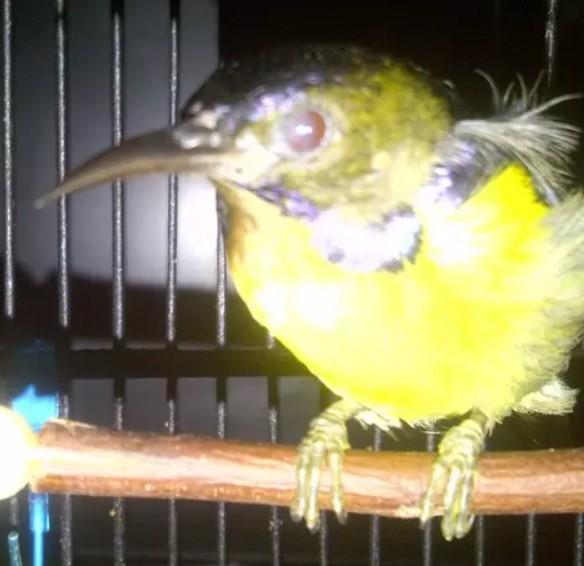 burung-kolibri-kelapa