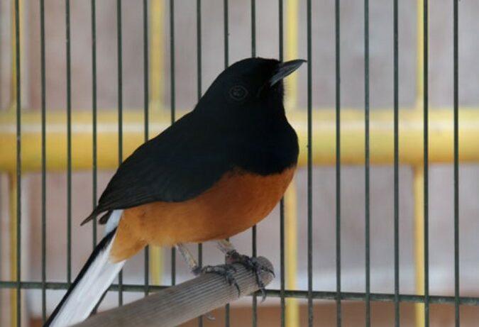 burung-murai-stress