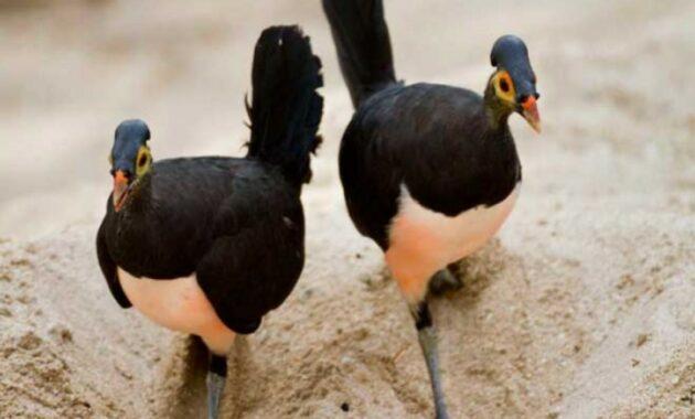 jenis-burung-maleo