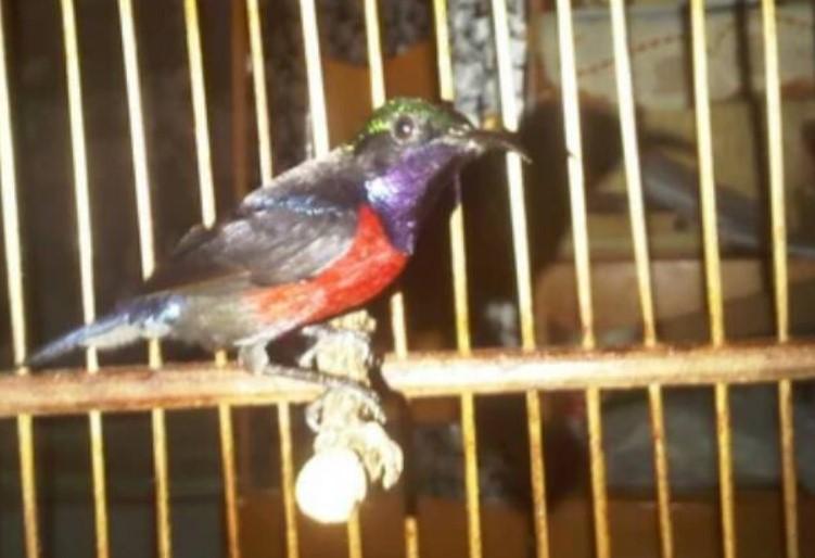 kolibri-ninja