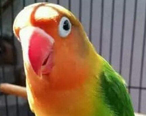 lovebird-josan