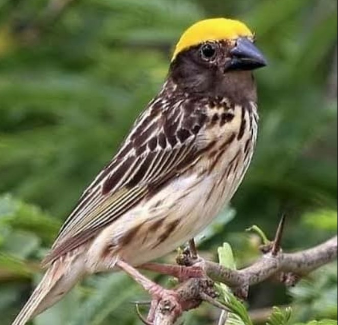manyar-pala-kuning