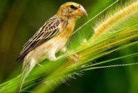 perawatan-burung-manyar