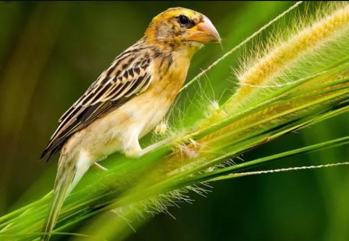 Cara Mudah Perawatan Burung Manyar Agar Cepat Gacor Harian