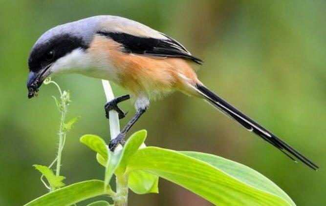 burung-pentet