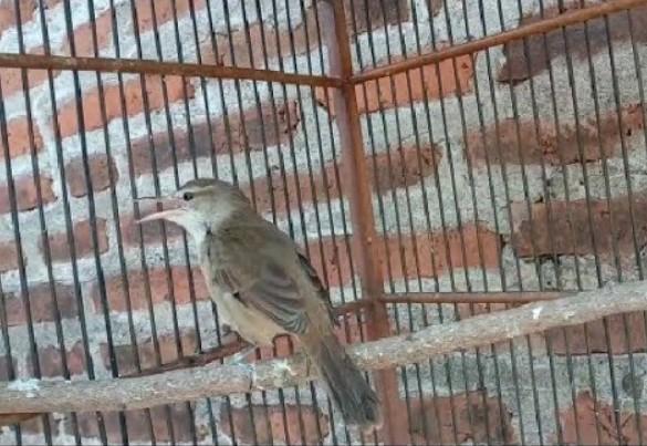 burung-kerak-basi
