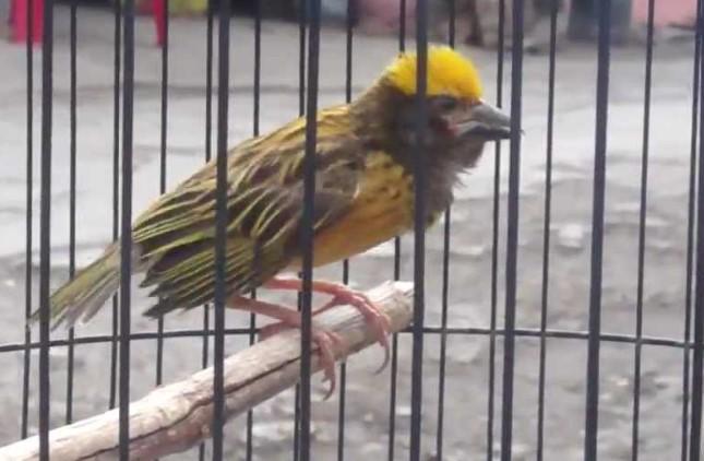katalog-burung-manyar-dipasaran
