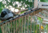 pikat-burung