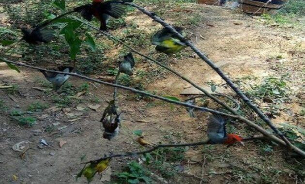 pikat-burung-kecil