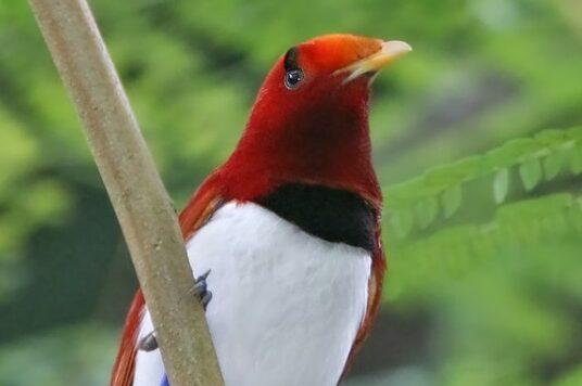 burung-asli-indonesia