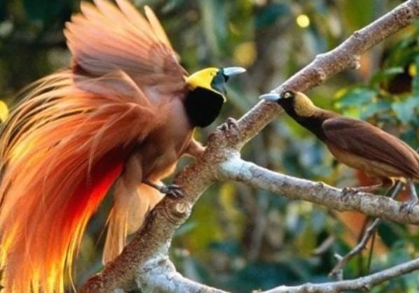 burung-cenderawasih