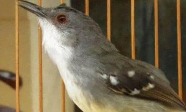 burung-ciblek-gacor