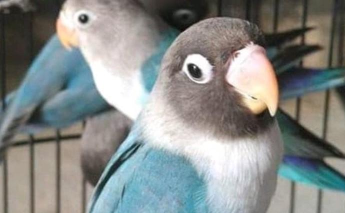 burung-lovebird-gacor