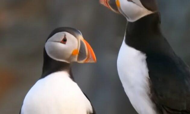 burung-puffins