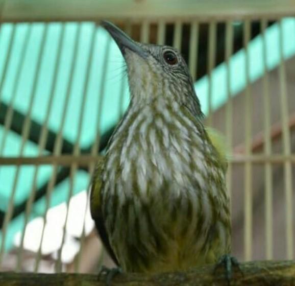 burung-siri-siri-kecil