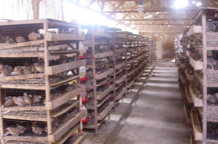 usaha-breding-telur-puyuh