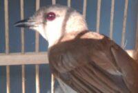 burung-kecil-suara-keras