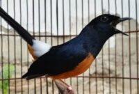 burung-kontes