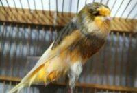 burung-murah-bersuara-bagus