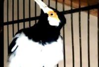 burung-peliharaan-ukuran-besar