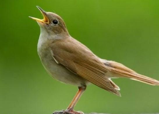 burung-sikatan-londo