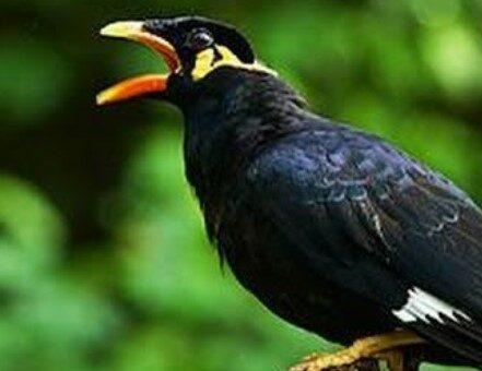 burung-tanpa-sangkar