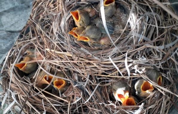cara-menetaskan-telur-burung-pentet