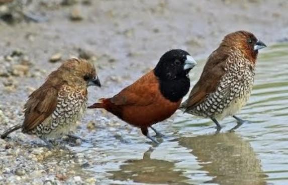 cara-merawat-burung-emprit-supaya-gacor
