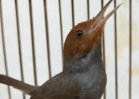 download-suara-pikat-semua-burung-kecil-mp3