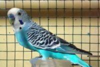 harga-burung-pacific-parrotlet