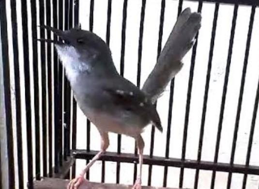 jenis-burung-fighter