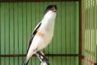 jenis-burung-yang-cepat-gacor