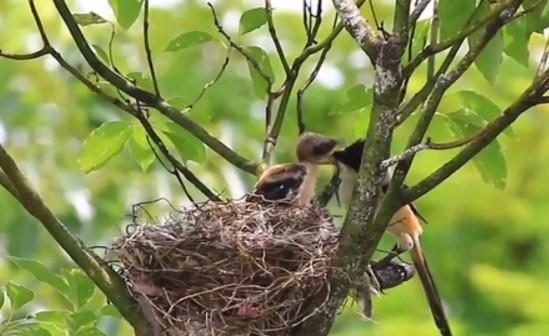 musim-kawin-burung-cendet-di-alam-liar