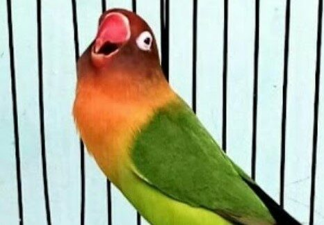 nama-burung-kontes