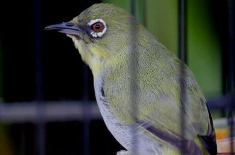 suara-burung-paling-enak-didengar