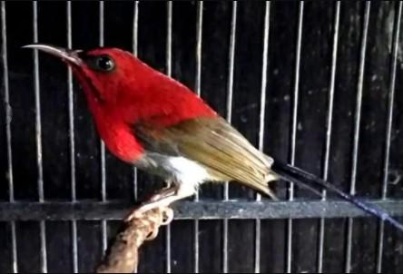 suara-kolibri-sepah-raja