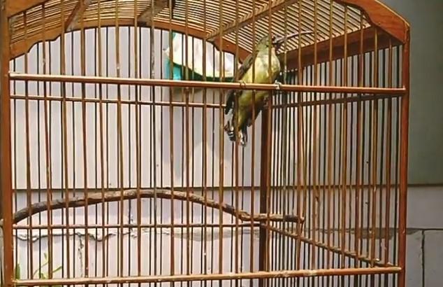 burung-pijantung-gacor