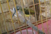 cara-merawat-burung-pijantung