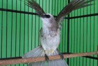 cara-merawat-burung-trucukan
