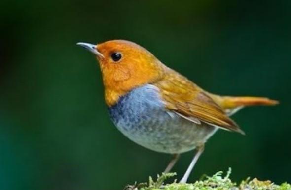 jenis-burung-robin