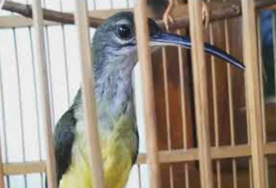 burung-murah-suara-mewah