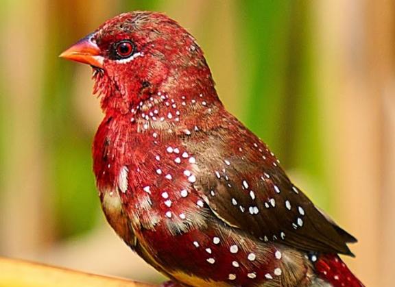 suara-burung-strawberry-finch