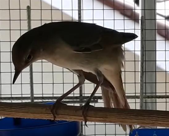 burung-sikatan-londo-lokal