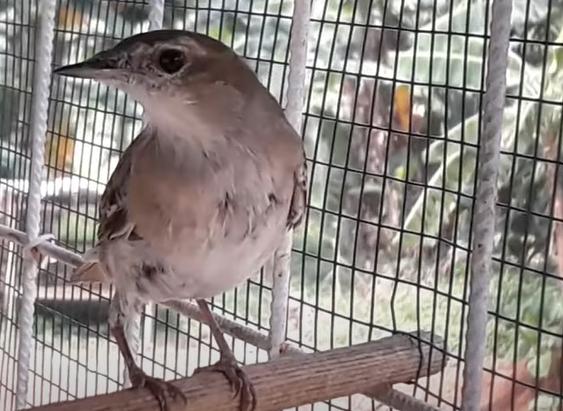 gambar-burung-sikatan-londo